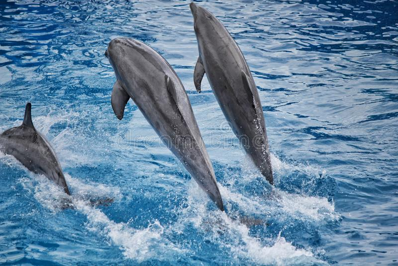 Dauphins sautant sans crier gare l'eau images stock