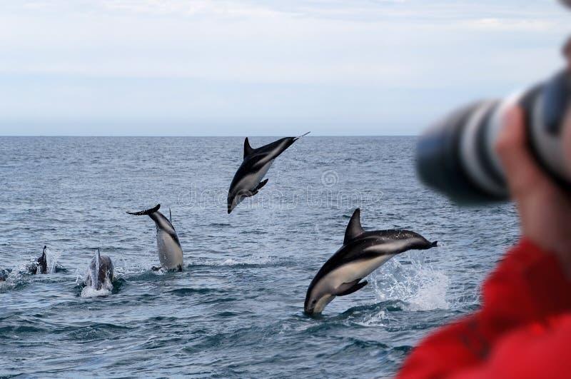 Dauphins sombres Nouvelle Zélande images libres de droits