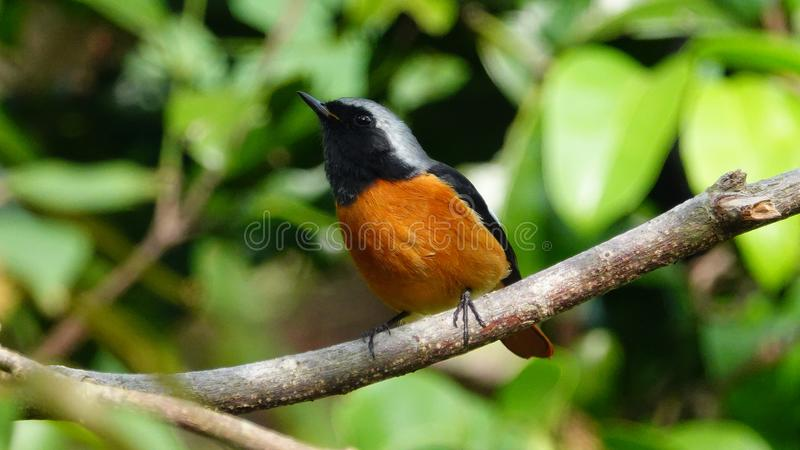 Daurian Redstart photos stock