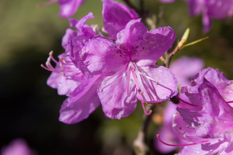 Dauricum de rhododendron, mucronulatum pourpre de rhododendron de fleurs de buisson image libre de droits
