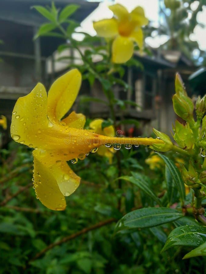 Dauw op Allamanda-bloem stock afbeeldingen