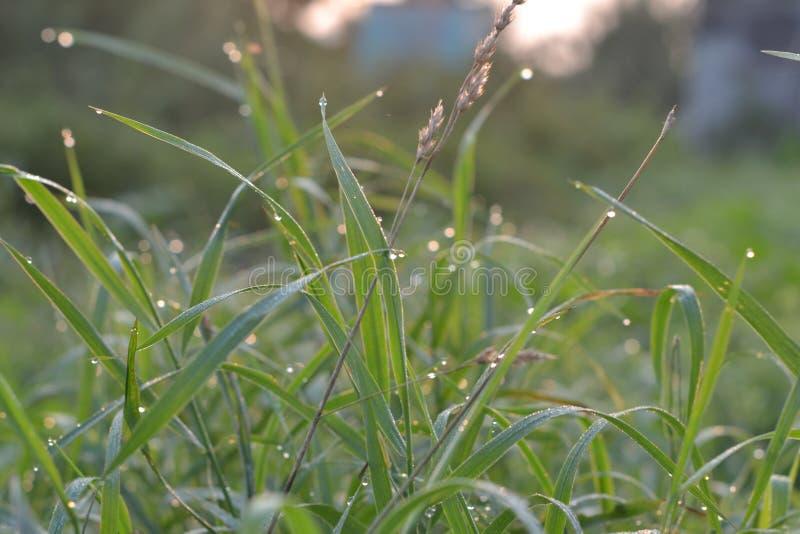 Dauw op het gras vroeg in de ochtend stock afbeeldingen
