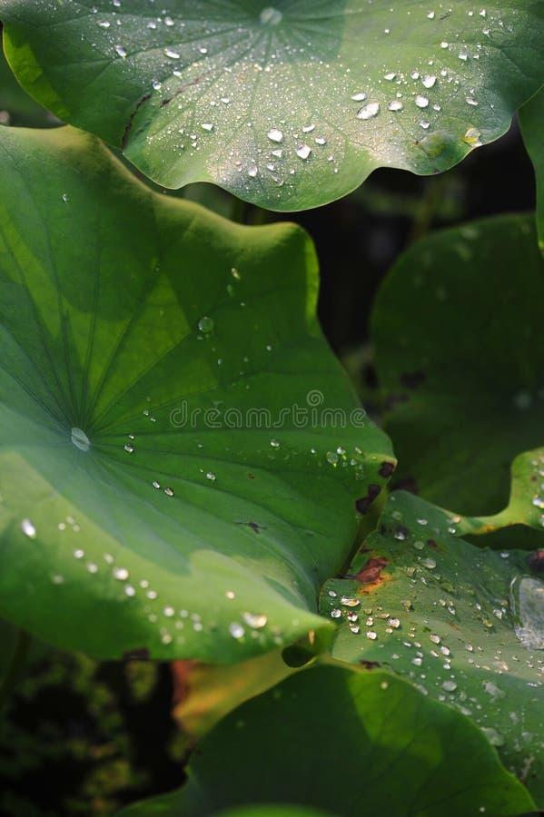 Dauw op het lotusbloemblad royalty-vrije stock afbeeldingen