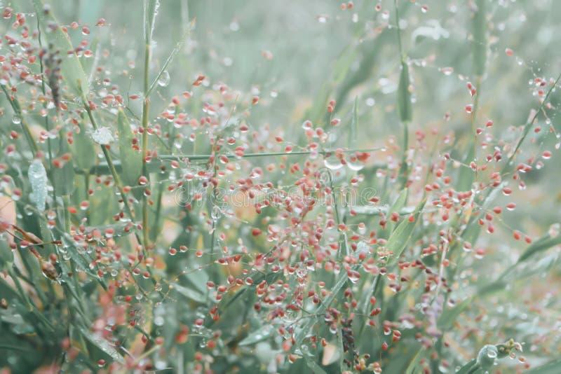 Dauwdaling op het gras op grasgebied met kleine roze binnen bloem stock afbeelding