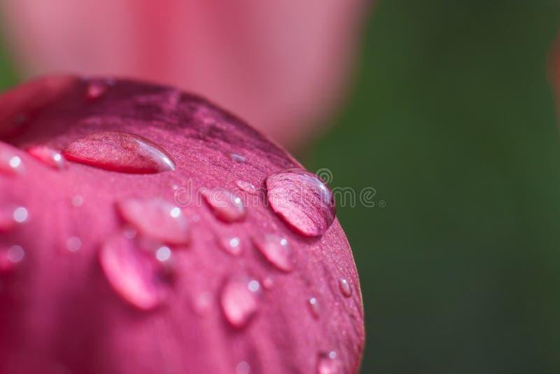 Dauwdaling op roze bloem stock fotografie