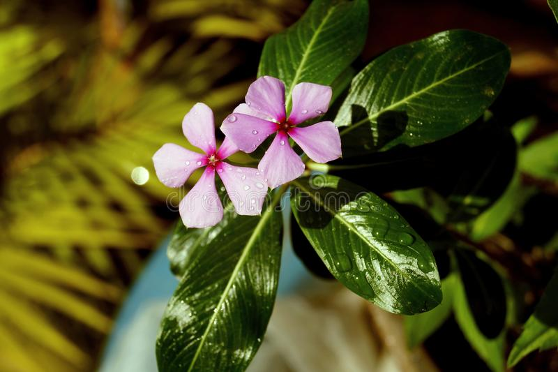 Dauwdalingen op bloem stock foto