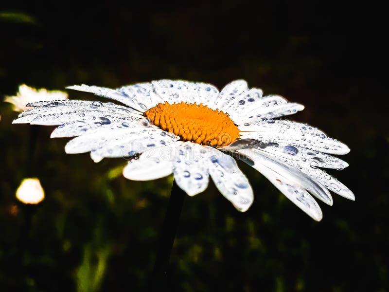 Dauwdalingen op de bloemblaadjes van de bloem stock foto