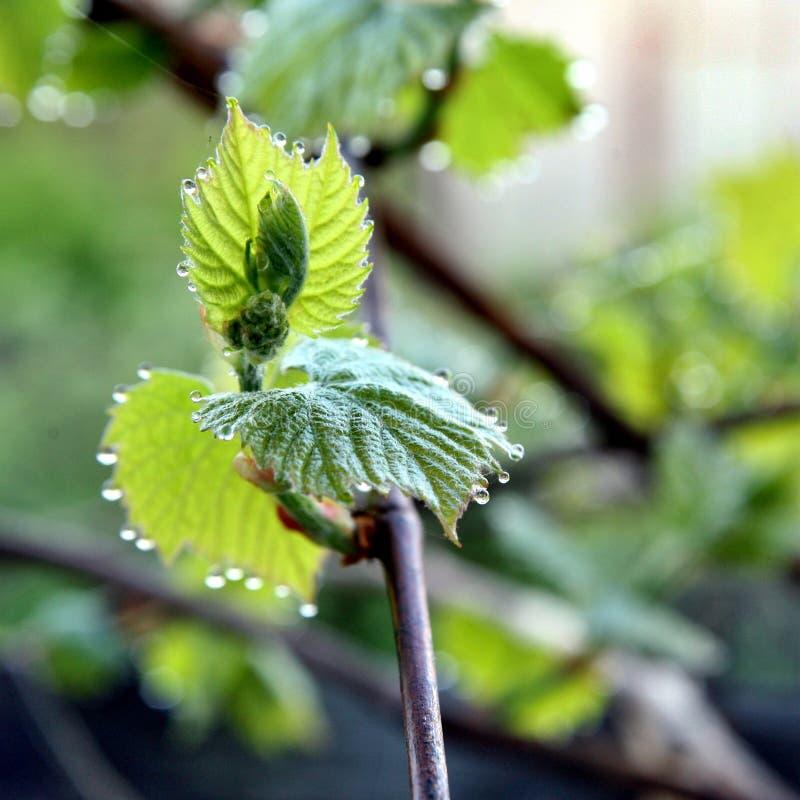 Dauwdalingen op de groene bladeren van druiven Macro stock afbeeldingen
