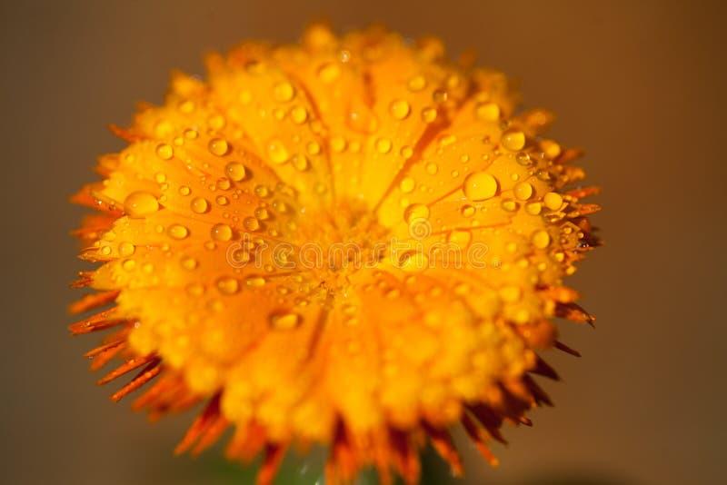 Dauwdalingen op een gele bloem royalty-vrije stock fotografie