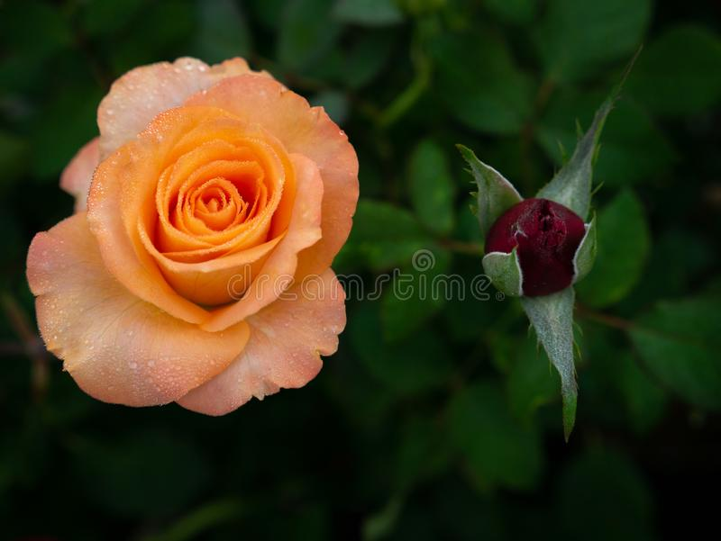Dauwdalingen op Oranjegele Rose Flowers met Rood Bud Blooming stock foto