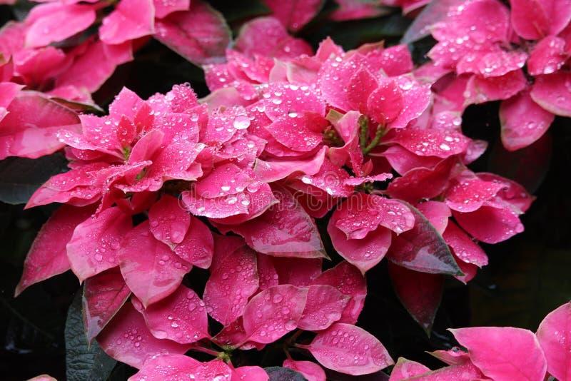 Dauwdalingen op roze Poinsettia royalty-vrije stock foto