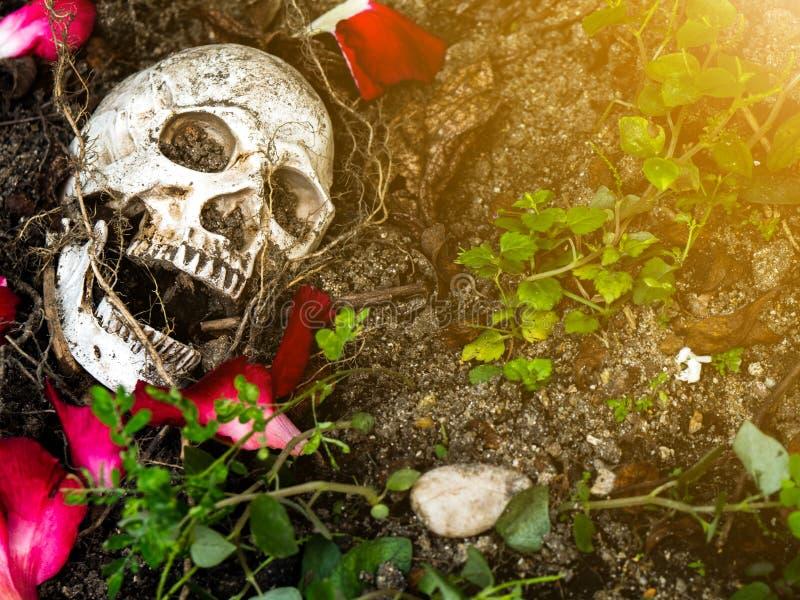 Davanti al cranio umano sepolto nel suolo con le radici dell'albero e dei petali rosa dal lato Il cranio ha sporcizia allegata a immagine stock libera da diritti