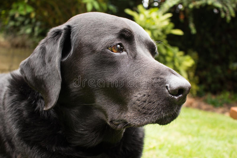 Dave The Black Labrador lizenzfreie stockbilder