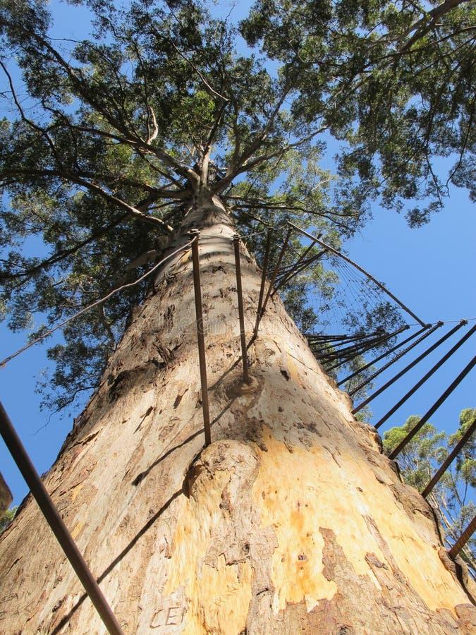 Dave Evans Bicentennial Tree, in Waren National Park, West-Australien lizenzfreies stockbild