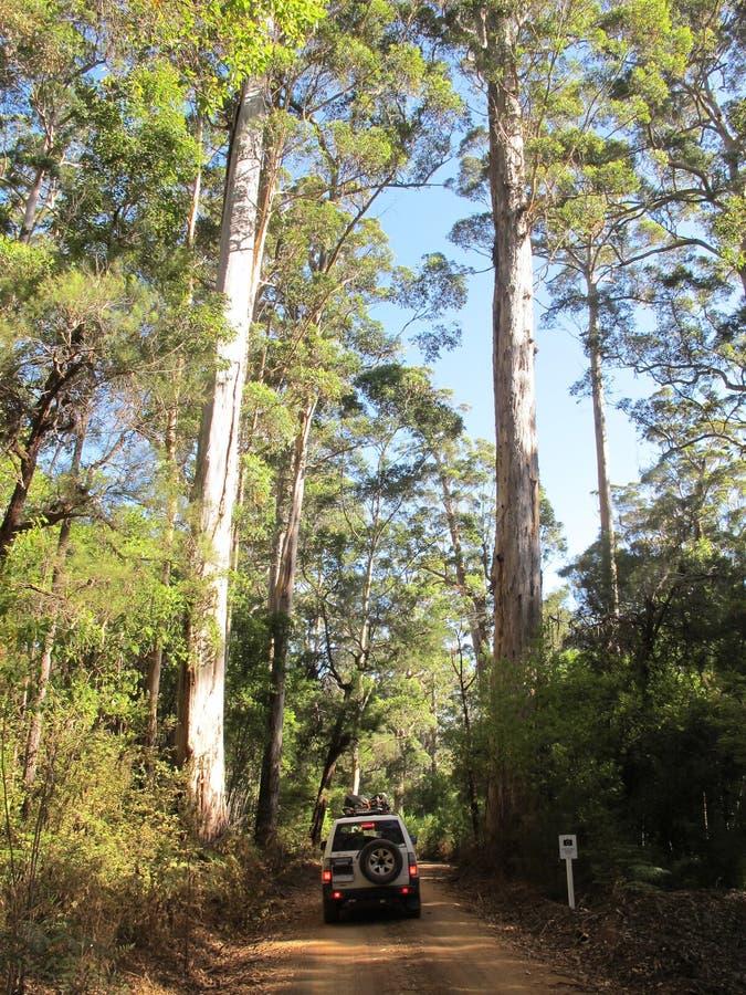 Dave Evans Bicentennial Tree, in Waren National Park, West-Australien stockfoto