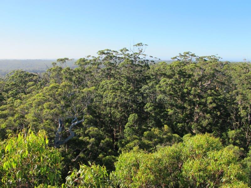 Dave Evans Bicentennial Tree, in Waren National Park, West-Australien stockbild