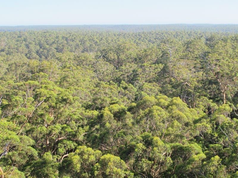 Dave Evans Bicentennial Tree, in Waren National Park, West-Australien stockfotografie