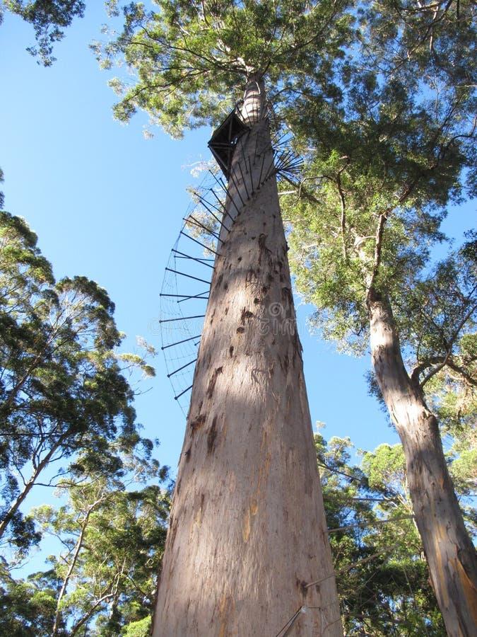Dave Evans Bicentennial Tree, in Waren National Park, West-Australien lizenzfreies stockfoto