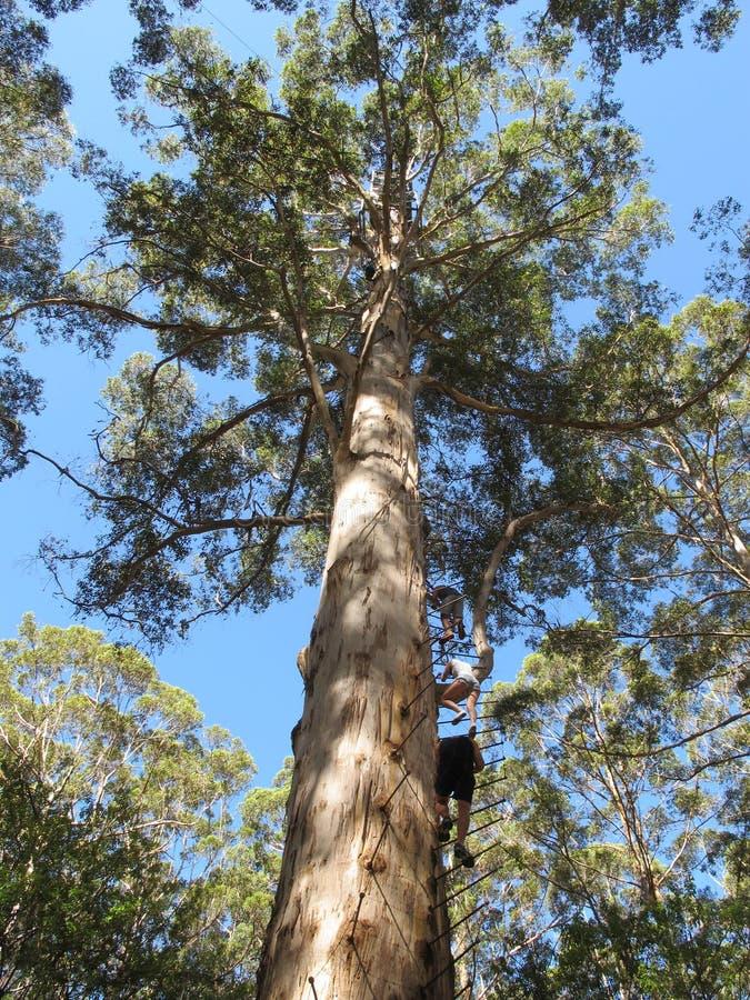 Dave Evans Bicentennial Tree, in Warren National Park, Westelijk Australië royalty-vrije stock afbeeldingen