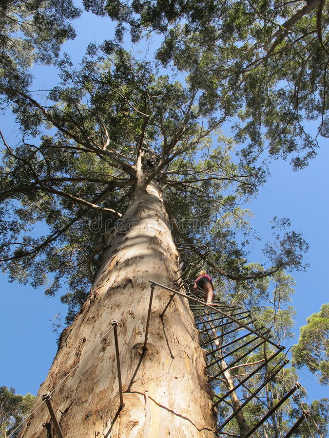 Dave Evans Bicentennial Tree, in Warren National Park, Westelijk Australië stock foto