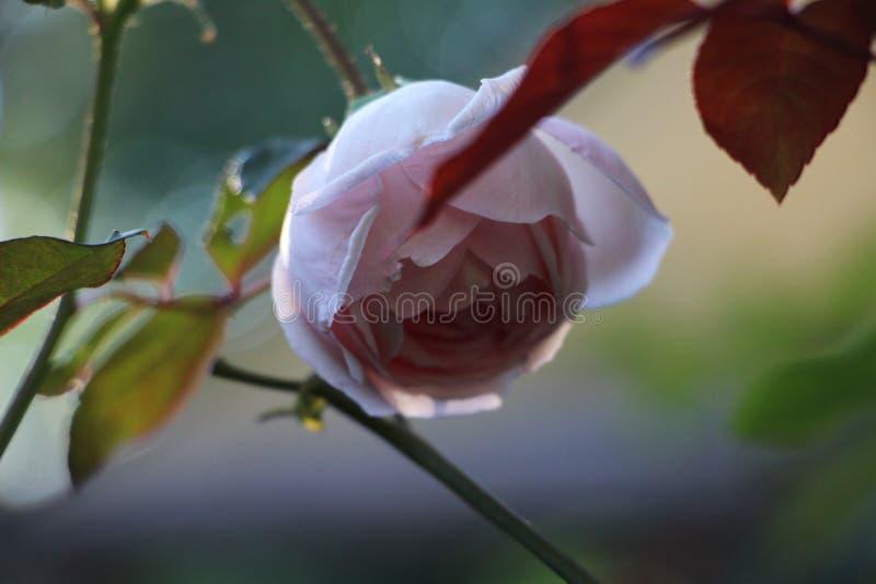 David Austin Rose Plant e fiore - fiori di Matagalpa Nicaragua fotografia stock libera da diritti