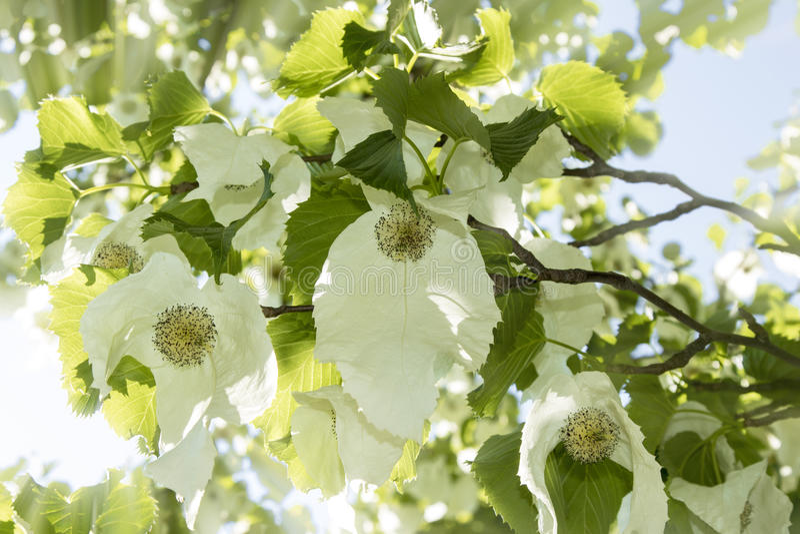 Davidia involucrata或手帕树与花 免版税库存图片