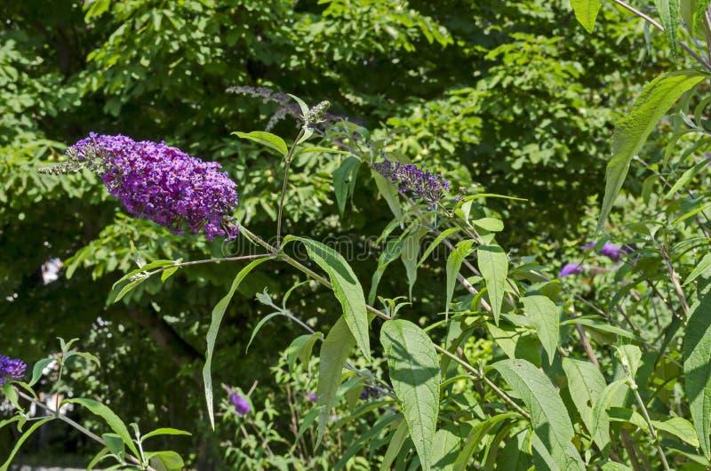 Davidii de buddleia, Violet Lilac ou papillon Bush fleurissant sur un fond vert photos stock