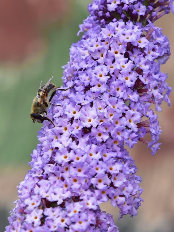Davidii de Buddleja - arbusto de borboleta imagem de stock royalty free