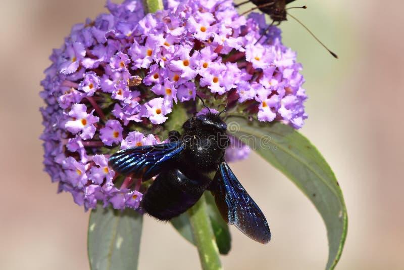 Davidii de Buddleja - arbusto de borboleta com a abelha de carpinteiro violeta foto de stock royalty free