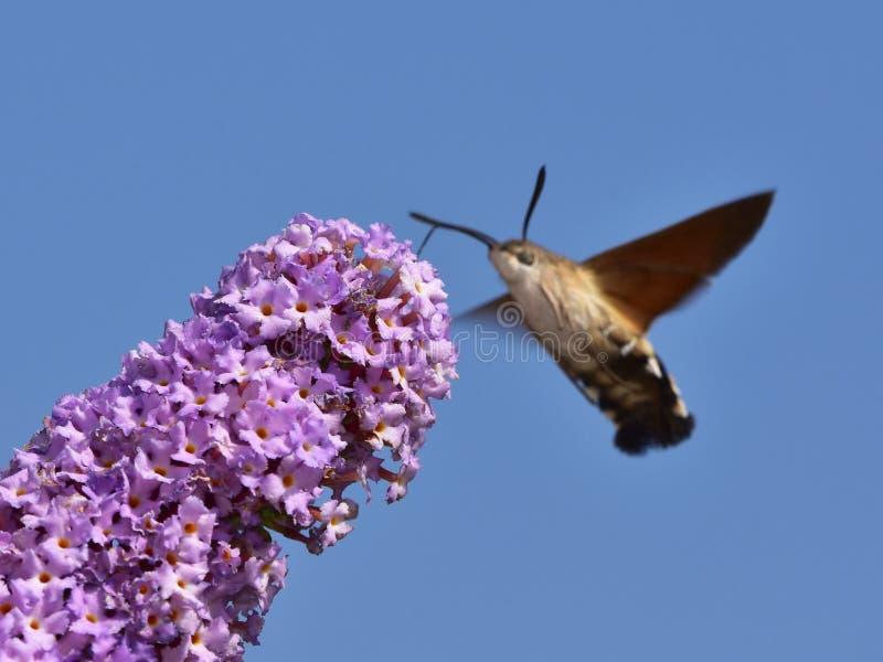 Davidii de Buddleja - arbusto de borboleta com falcão-traça do colibri fotografia de stock royalty free