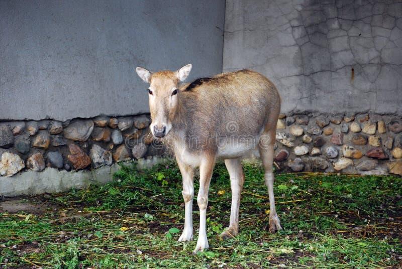 Davids hjortar eller Mila Latin Elaphurus davidianus— sällsynt art av en hjort arkivfoton