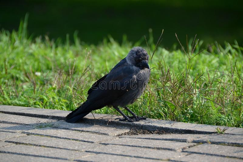 Jackdaws-bird, one of the smallest representatives of the family of corvids stock images