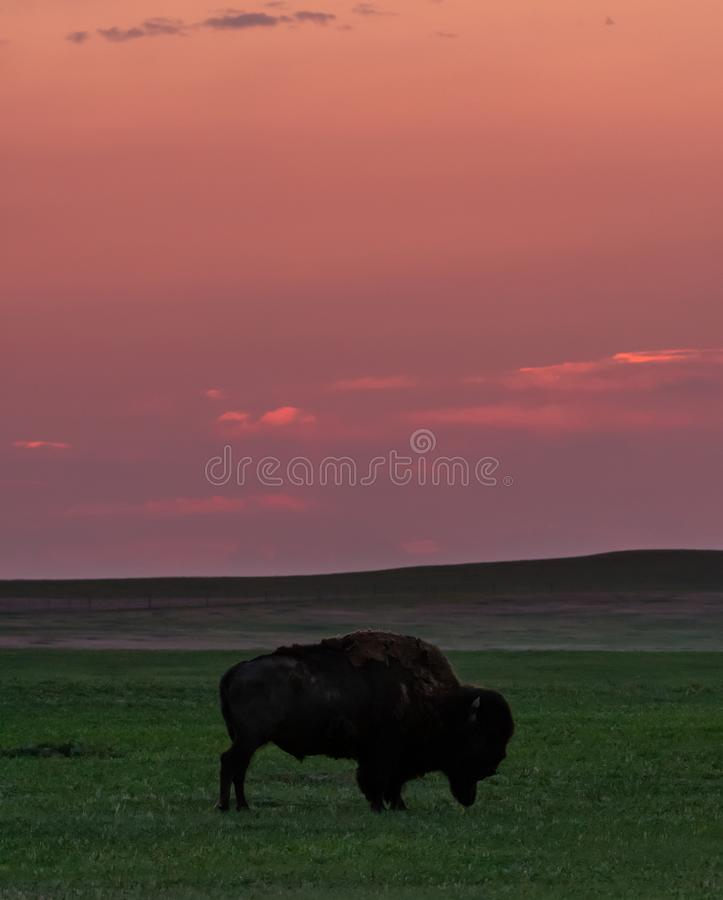 Dawn Breaks Over Grazing Bison imagem de stock royalty free