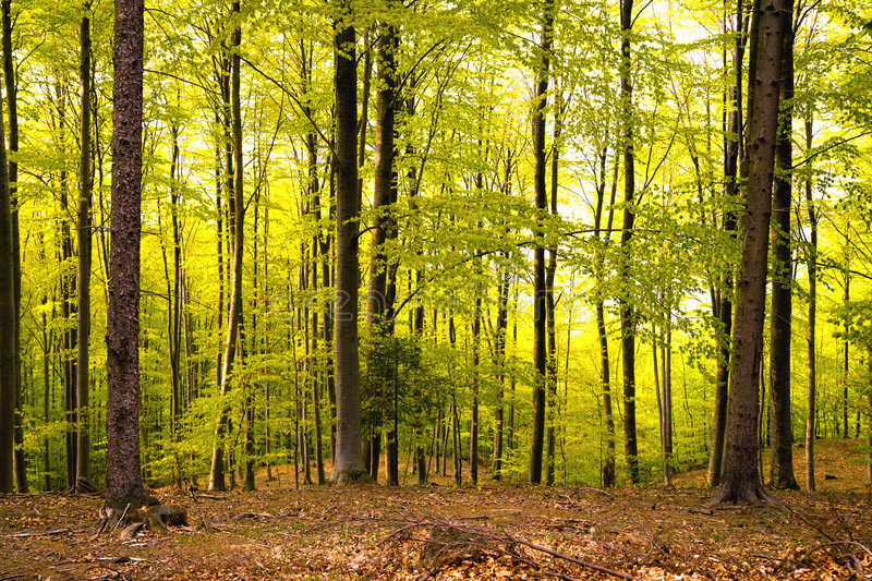 Download Dawn in forest stock photo. Image of light, forested, nature - 5094446