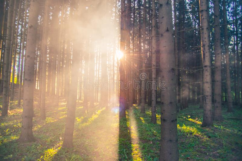 Dawn in forest with mist. Dawn in forest sun and mist, foggy landscape royalty free stock image