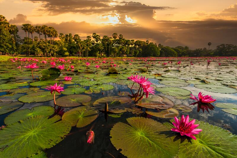 Dawn on the lake with lotuses. Cambodia, Angkor Wat.  royalty free stock images