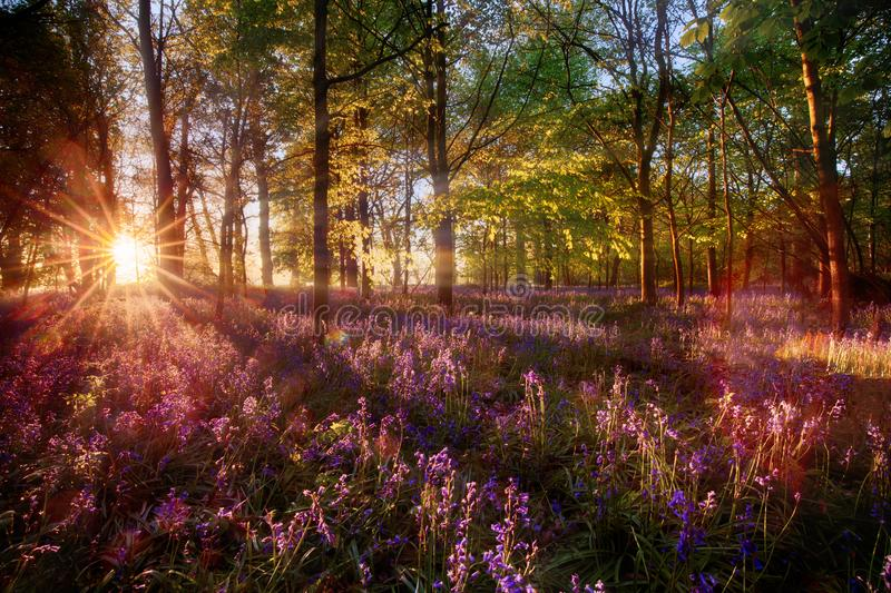 Dawn light shines through bluebell forest. Dawn sunrise through bluebell woodland. Wild purple flowers cover the forest landscape floor with color and sun light stock photos