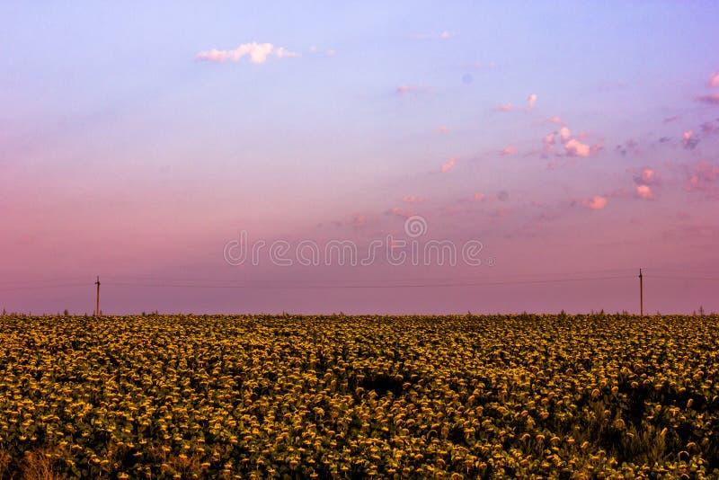 Dawn op het gouden gebied van zonnebloem stock foto's