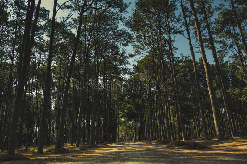 Dawn in the Pine Forest stock images