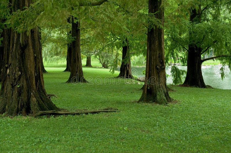 Dawn Redwood Trees. Very rare stand of Dawn Redwood trees. Once thought to be extinct until rediscovered in China in the 1940's stock image