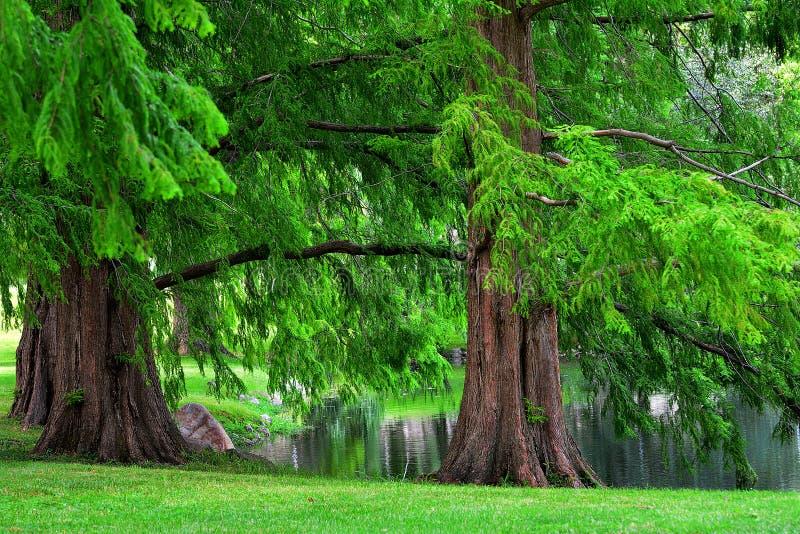 Dawn Redwood Trees fotografia de stock royalty free