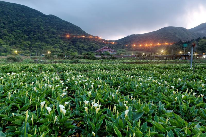 Dawn scenery of a calla lily flower field, a tourist farm in Yangmingshan National Park in suburban Taipei. Taiwan, with street lights of a highway glistening stock photography