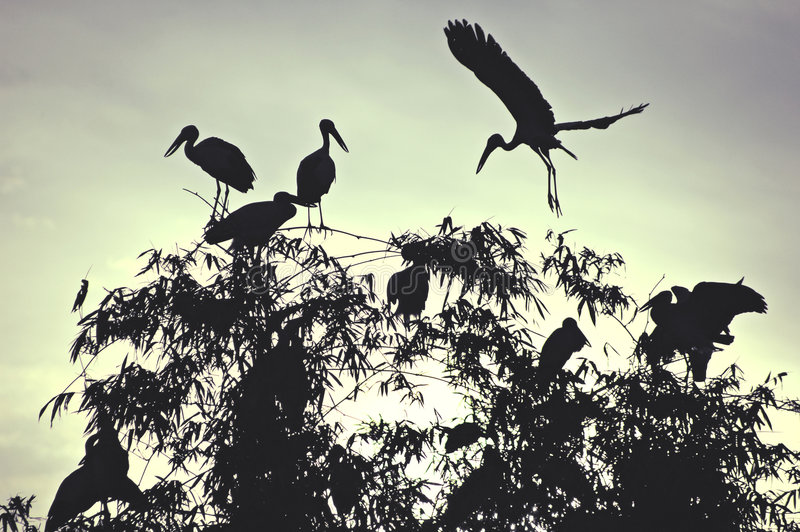 Download Dawn storks stock photo. Image of assemble, convene, openbill - 522086