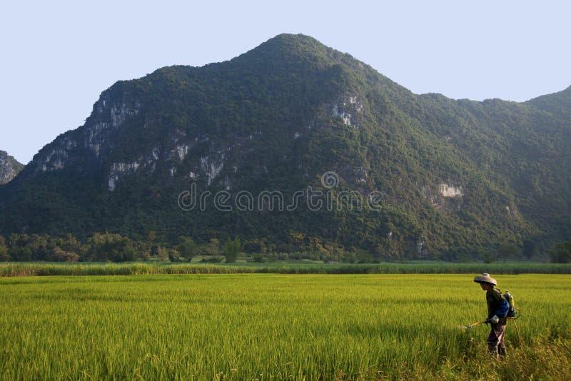 DAXIN, CHINA, 28 SEPTEMBER 2011: Chinees arbeider het bespuiten rijstfi royalty-vrije stock afbeelding