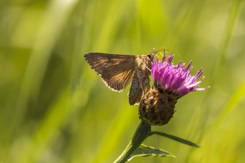 Day active Silver Y Autographa gamma moth pollinating on pink an. D purple thistle flowers during daytime in bright sunlight stock photos