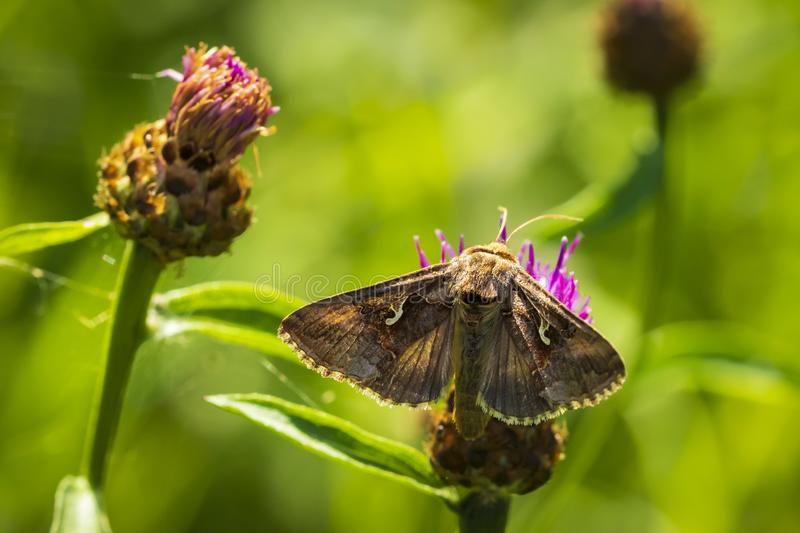 Day active Silver Y Autographa gamma moth pollinating on pink an. D purple thistle flowers during daytime in bright sunlight stock images