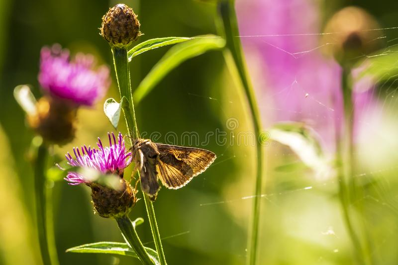 Day active Silver Y Autographa gamma moth pollinating on pink an. D purple thistle flowers during daytime in bright sunlight royalty free stock image