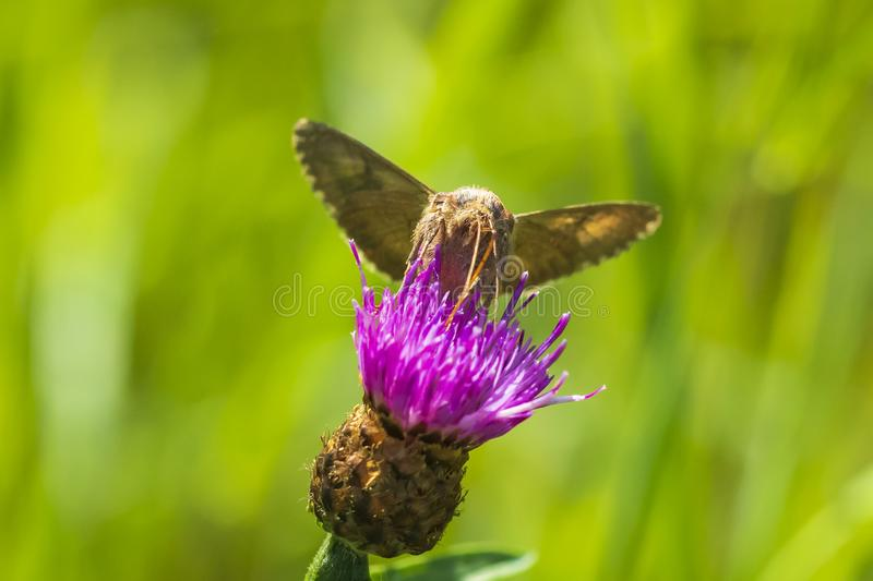 Day active Silver Y Autographa gamma moth pollinating on pink and purple thistle flowers. During daytime in bright sunlight stock image