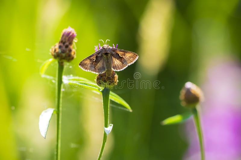 Day active Silver Y Autographa gamma moth pollinating on pink and purple thistle flowers. During daytime in bright sunlight stock photography