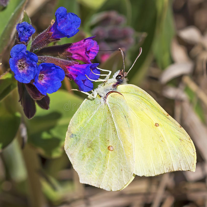 Day butterfly of Limonnits (Gonepteryx). The day butterfly of Limonnits (Gonepteryx) eats nectar from the softest (Pulmonaria dacica Simonk) blossoming Medunitsa royalty free stock photography